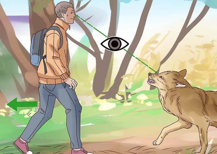 ارتباط چشمی با گرگ