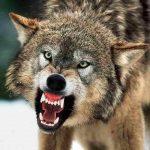 چگونه از حمله گرگ ها جان سالم به در ببریم؟